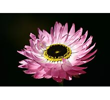 Native Paper Daisy Photographic Print