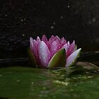 water lilly by 24moonview