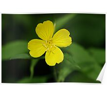Carolina Primrose-Willow Poster