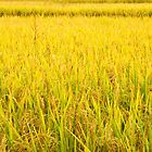 Rice field by Walter Quirtmair