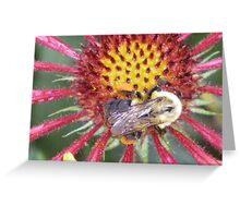 Indian Blanket Macro with bumble bee photo art print Greeting Card