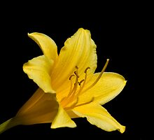 Yellow Lily by Krys Squires