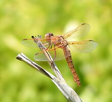 flame skimmer by brightdivine