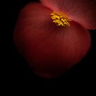 Begonia up late by alan shapiro
