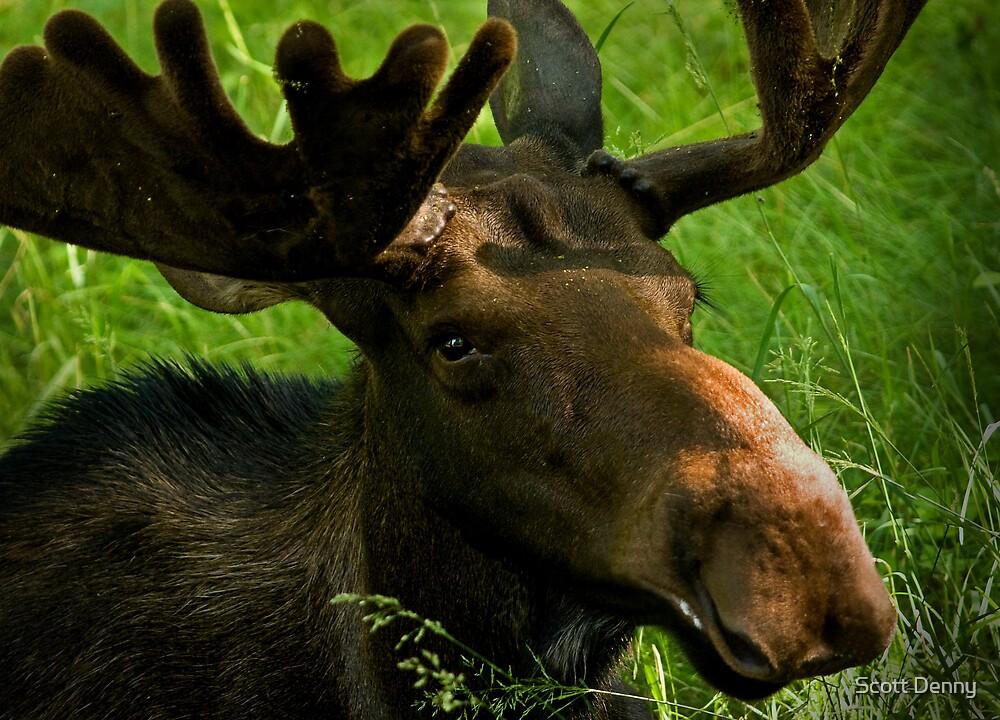 Marty Moose by Scott Denny