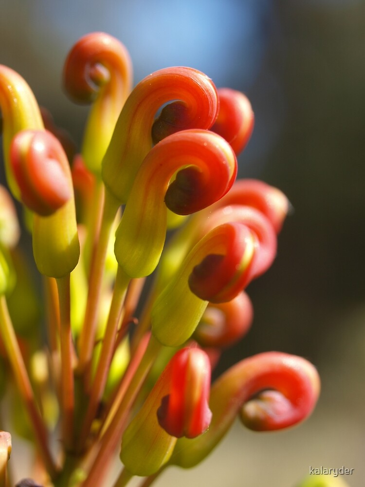 Grevillea in the Serpentine by kalaryder