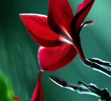 Red Frangipani  by Nickie