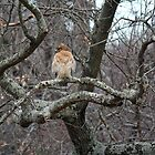 Jabba the Hawk by WalnutHill