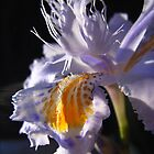 iris IV by Floralynne