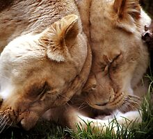 Loving Lions by Steve Chapple