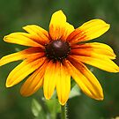 A Daisy by BigD