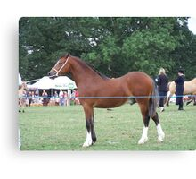 Proud Stallion .. I am going to win this Canvas Print