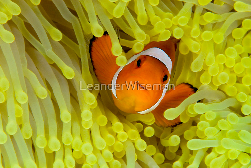 Anemonefish IV by LeanderWiseman