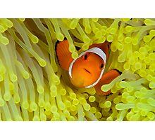 Anemonefish IV Photographic Print