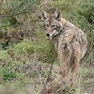 Wandering coyote by Anthony Brewer