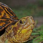 Florida Box Turtle by Michael L Dye