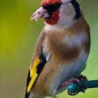 Goldfinch by Tom Allen