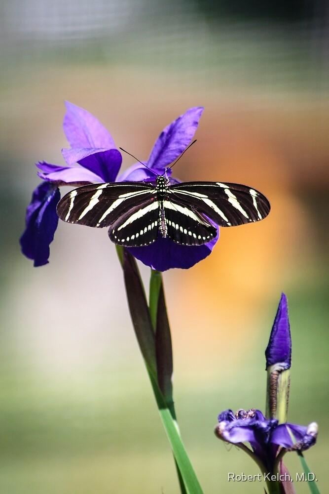 Zebra Longwing on Iris  by Robert Kelch, M.D.