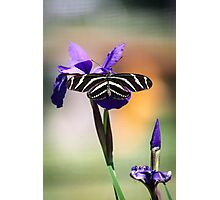 Zebra Longwing on Iris  Photographic Print
