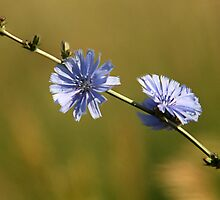 Chicory - Wildflower by Ryan Houston