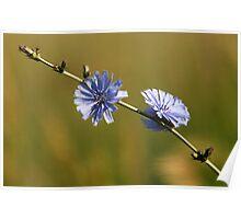 Chicory - Wildflower Poster