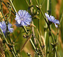 Chicory - Wildflower II by Ryan Houston