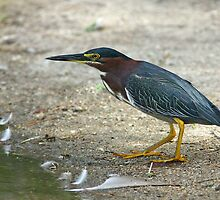 Green Heron by tomryan