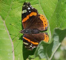 red admiral by ampwizbit