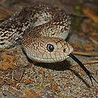 Florida Pine Snake by Michael L Dye