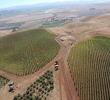 Napa Valley Grapes by PicsByChris