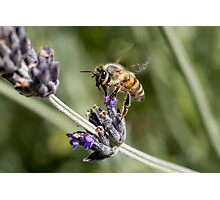 Looking for Lavender Photographic Print