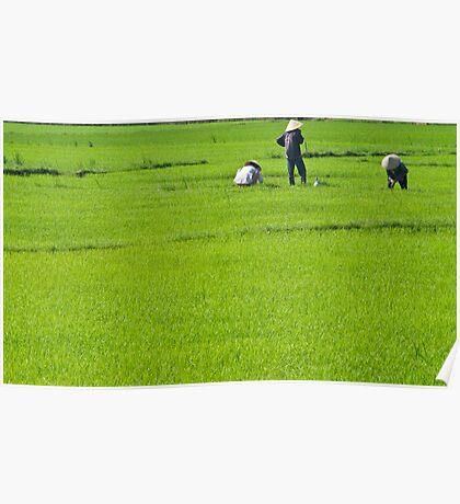 Rice Fields #1 (Hoi An, Viet Nam) Poster