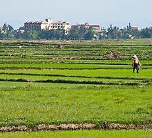 Rice Fields #2 by Matthew Stewart