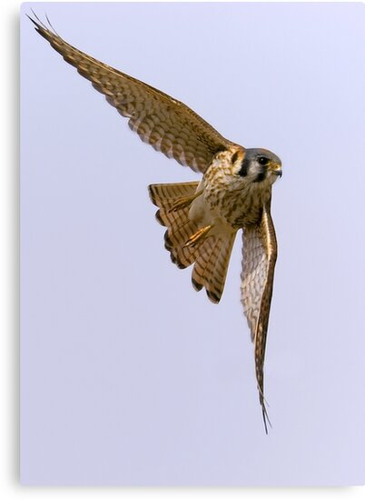 American kestrel in flight by Mundy Hackett