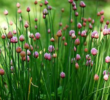 beautiful chives by Chrystal Ferreira