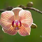 Mom's Orchid by caroleann1947