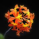 crucifix orchid by Floralynne