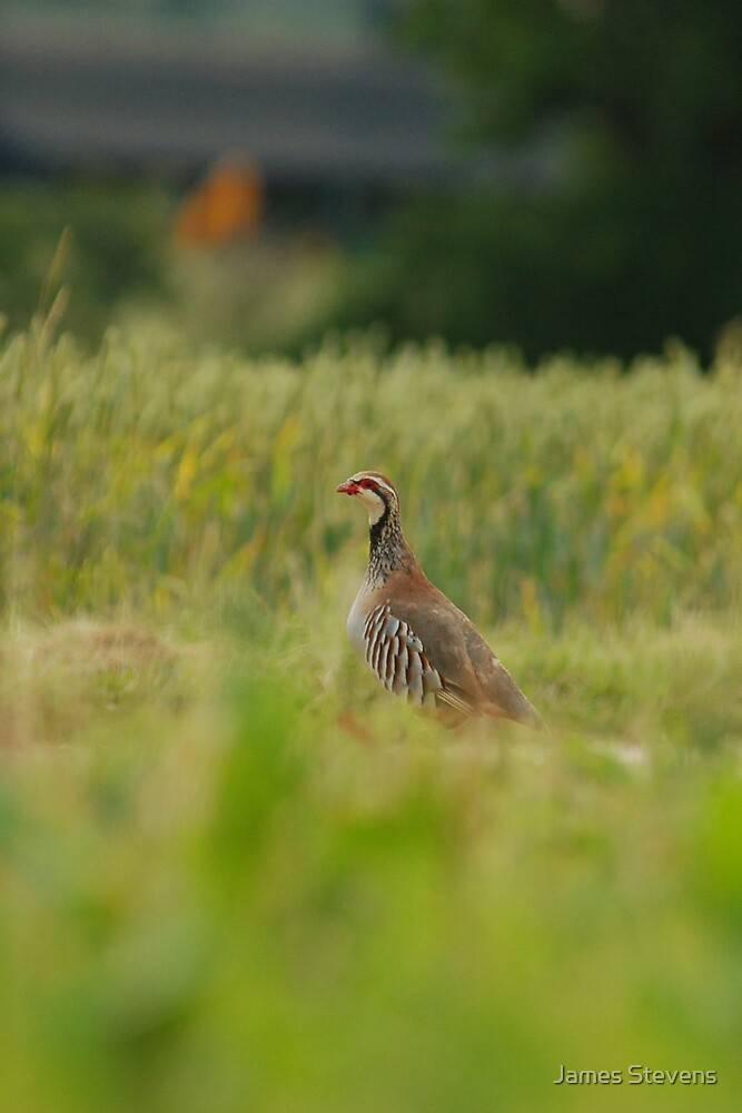 The Red-Legged Partridge by James Stevens