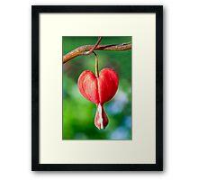 Red Bleeding Heart Flower Framed Print