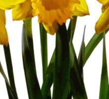 Daffodil Trio Sticker
