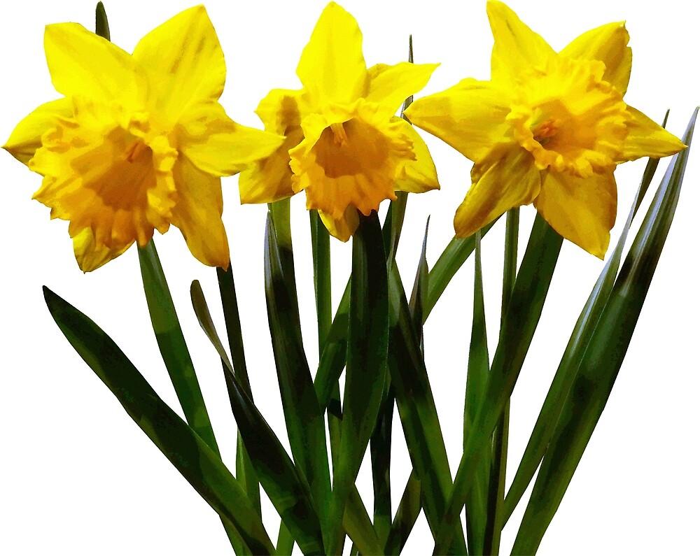 Daffodil Trio by Susan Savad