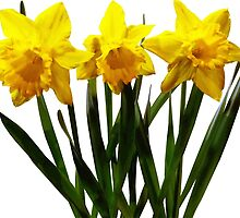 Daffodil Trio by Susan Savad