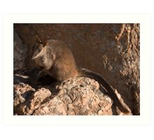 Brush-tailed Rock-wallaby Art Print