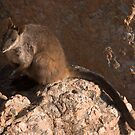 Brush-tailed Rock-wallaby by Blue Gum Pictures