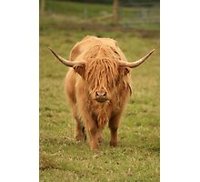 Highland Cow in Scotland Photographic Print