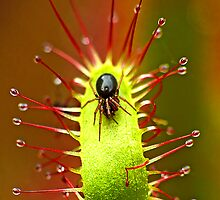 Small Spider on a Sundew frond or leaf by macromars