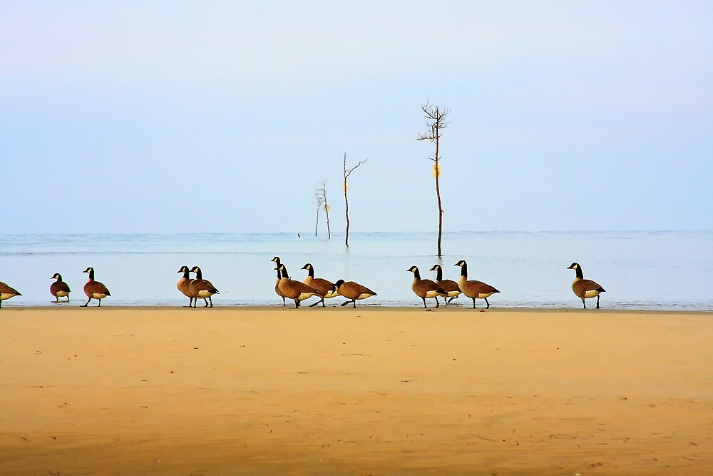 Canadian Geese Rock Harbor Cape Cod by Artist Dapixara