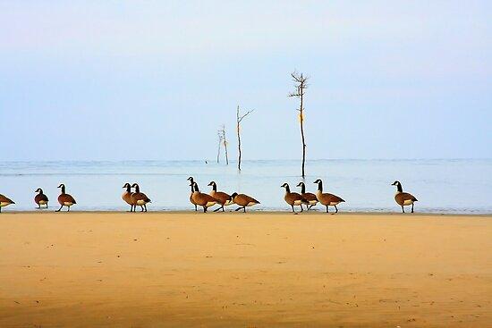 Canadian Geese Rock Harbor Cape Cod by Artist Dapixara