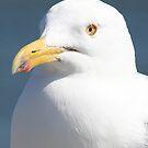 Gull Portreture by Artist Dapixara