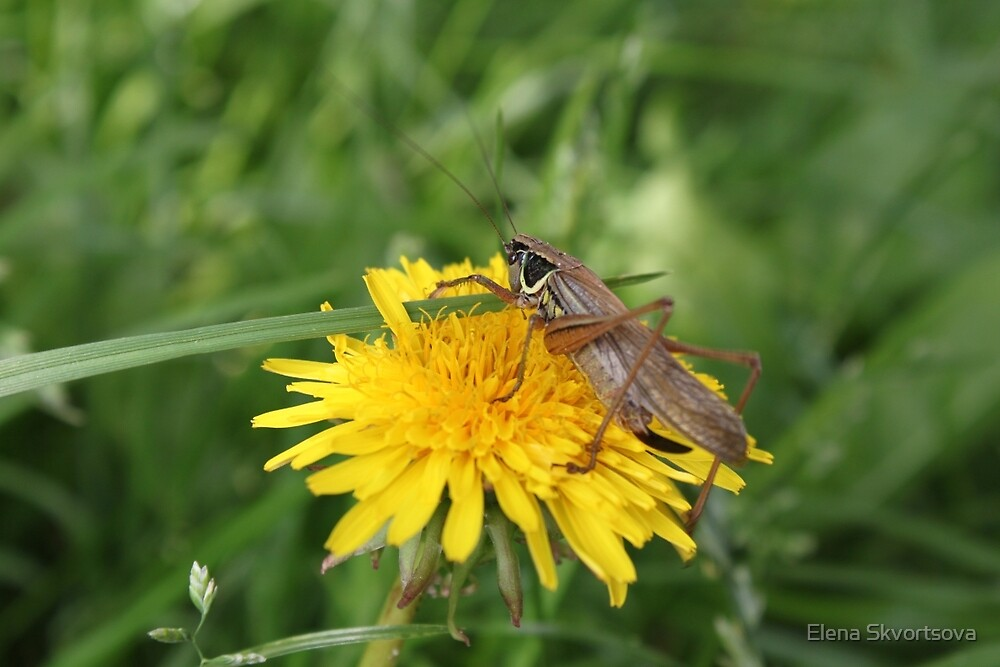 Grasshopper on a dandelion by Elena Skvortsova